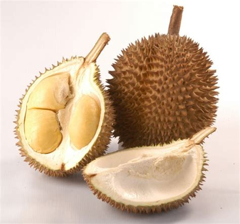 Jual Bibit Kelengkeng Cangkokan jual bibit durian d24 kualitas terbaik murah bergaransi