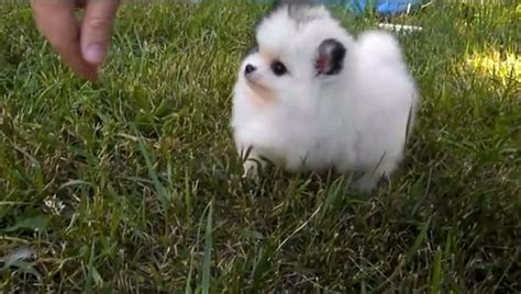 cutest in the world pomeranian meet mickey the smallest pomeranian animals pomeranians