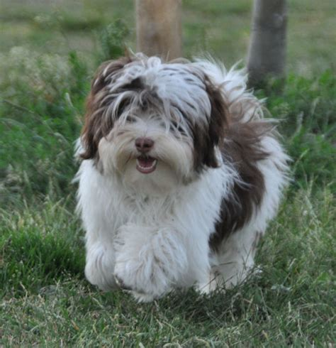 chocolate parti havanese our kennel