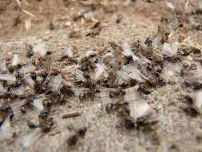 Tiny Ants In Bathroom Fire Ants 6legs2many
