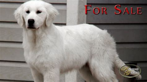 golden retriever puppies for sale in bucks county pa 8 month golden retriever dogs our friends photo