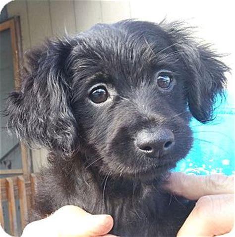 dachshund puppies orlando florida blacky 1m adopted puppy blacky 1m orlando fl dachshund weimaraner mix