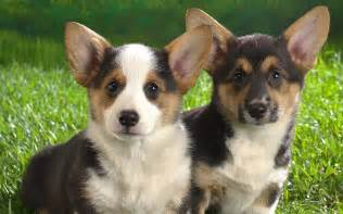 the s corgi cardigan welsh corgi pets cute and docile