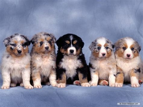wallpaper for desktop puppies puppy wallpaper dogs wallpaper 7013379 fanpop