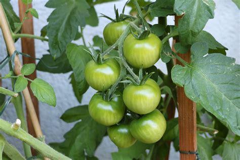 wann tomaten ernten tomaten ernten tomaten ernten zeit sich zu belohnen
