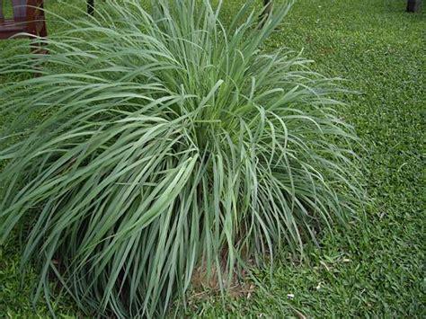 piante da giardino antizanzare piante antizanzare