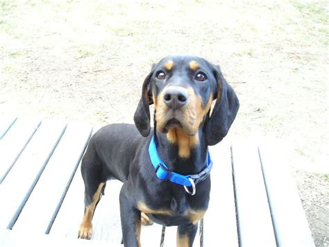 black and coonhound puppy black and coonhound puppies breeders coonhounds