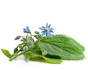 borage herbal information order borage bulk herbs