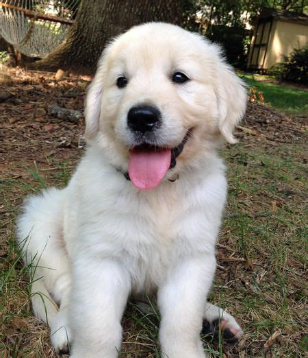 half golden retriever 68 best puppies images on animal babies dogs and animals