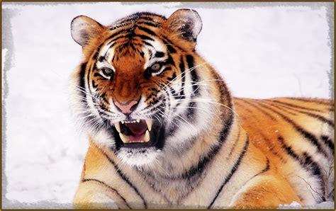 imagenes de leones las mejores las mejores imagenes de tigres y leones archivos