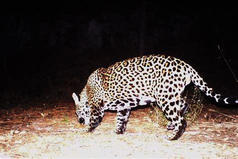 jaguar in arizona second jaguar spotted in arizona high