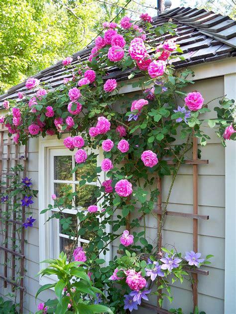 ways   grow climbing roses gardenmagzcom