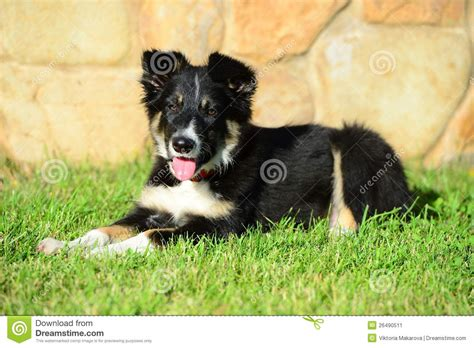 tricolor border collie puppy a tricolor border collie puppy laid stock image image 26490511