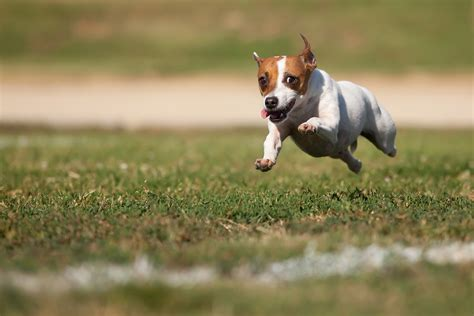 How To Get Dog To Stop Barking by Tips For Running With Your Jack Terrier Happy Jack Russell