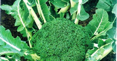 mengenal hama tanaman tips menanam brokoli