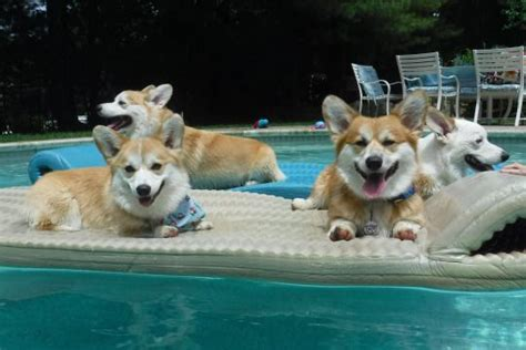 corgi working out for summer 197 best images about corgis swimming and boating on