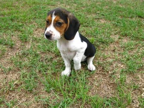 beagle puppies for sale colorado beagle puppies for sale in colorado springs colorado co montrose louisville