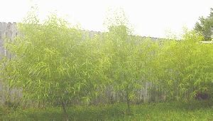 ameri willow fast growing hybrid willow tree for home