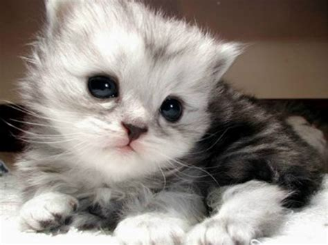 Sho Kucing Yang Murah ini yang membedakan kucing anggora murah dengan