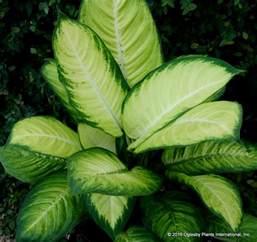 Home Interiors Catalog Online dieffenbachia tropic marianne