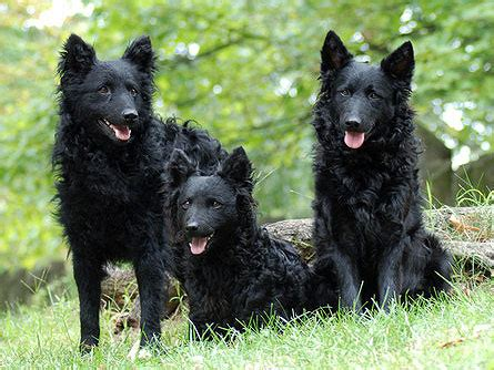 mudi puppies mudi breed