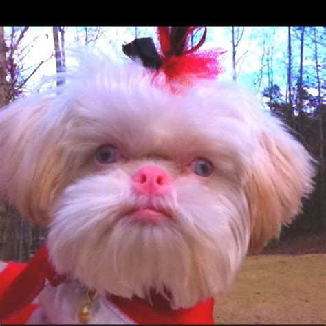what do maltese shih tzu eat 68 best shih tzu pix other great do s images on dogs pets