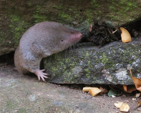 blarine short tailed shrew  photo  flickriver