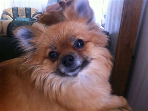 pomeranians for sale in pomeranian for sale malvern worcestershire pets4homes