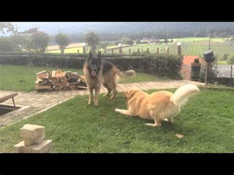 golden retriever vs german shepherd fight fight in snow odin the destroyer vs yellow lab