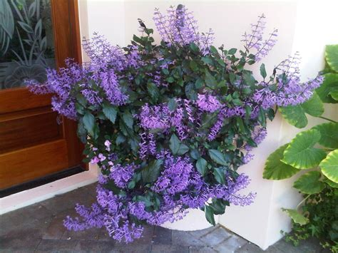 lavender container garden mona lavender at it s peak container gardening