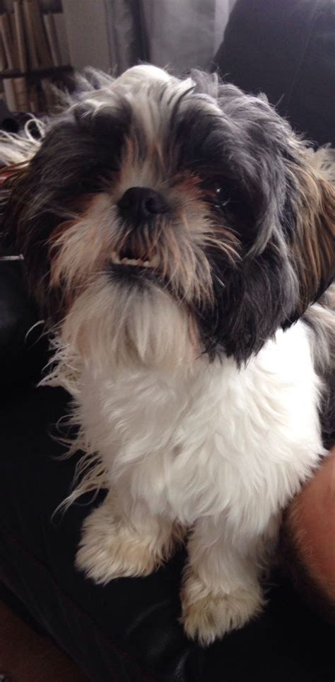 boy shih tzu for sale boy shih tzu for sale broadstairs kent pets4homes