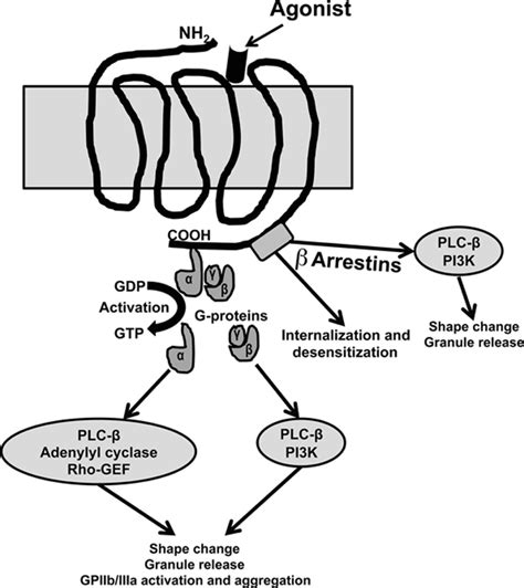 g protein coupled receptors c g protein coupled receptors signaling pathways in new