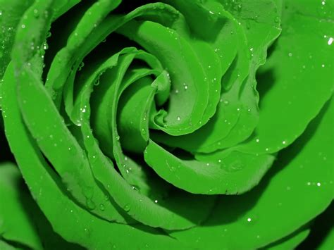 flower wallpaper green rose green rose flowers flower hd wallpapers images