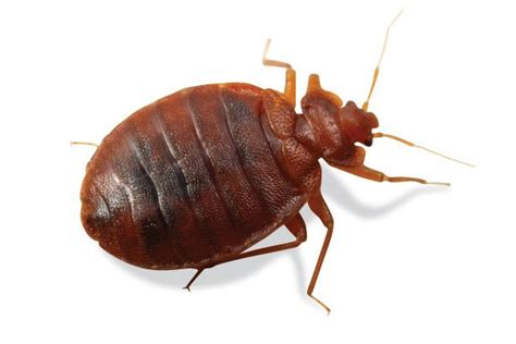 bed bug solutions bed bug identification bed bug pictures rose pest control