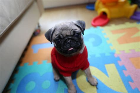 pugs for sale in kent pugs for sale ashford kent pets4homes
