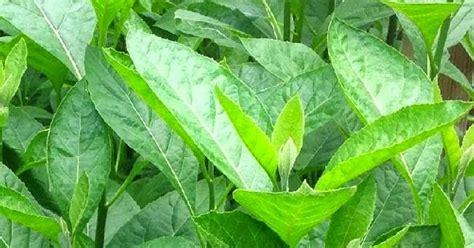 daun afrika tanaman herbal anek uteun