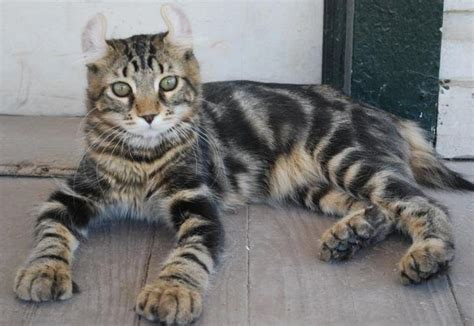 Highlander Cat Breed   Cat Pictures & Information