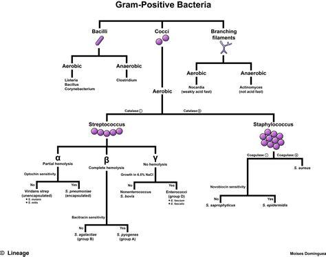 gram negative cocci identification flowchart gram positive flow chart microbiology gram positive flow