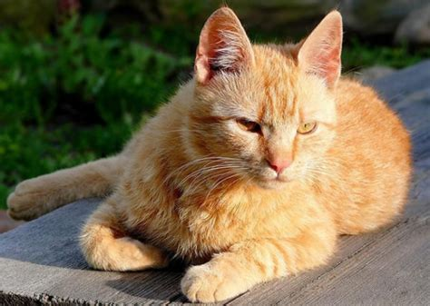 gato pelo corto razas de gatos animalesmascotas