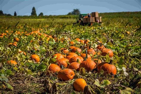 growing pumpkins for growing pumpkins grow and care for pumpkin plants