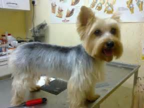haircuts for silky terriers newhairstylesformen2014 com
