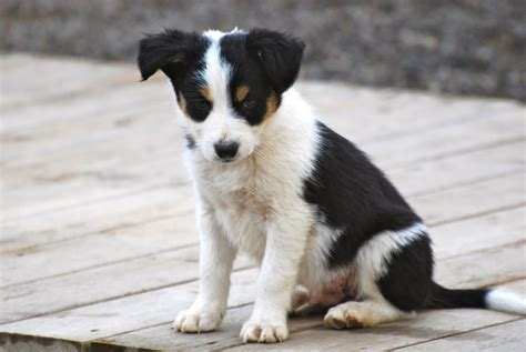 border collie puppies oregon hillcrest border collies available puppies