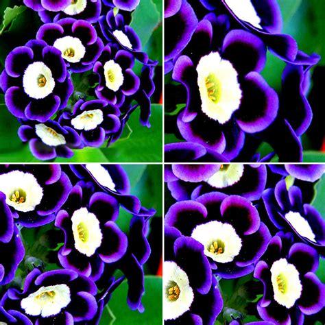 Petunien Bilder by 100 Stk Tricolor Petunien Samen Petunia Blumen Fuer Balkon