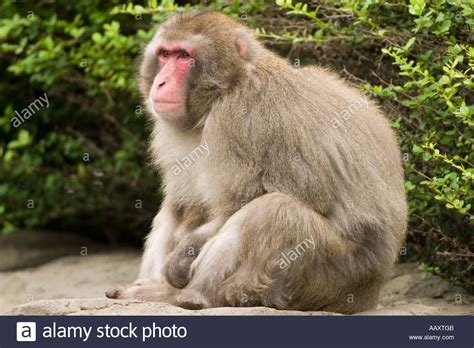 The Japanese macaque Macaca fuscata, is a terrestrial Old ...
