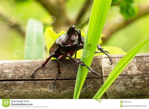 insetto cervo volante cervo volante di rinoceronte immagini stock immagine