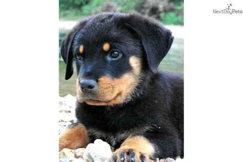 german rottweiler puppies for sale near me picture of 5 rottweiler puppies for sale breeds picture