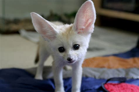 oh the excitement d fennec fox