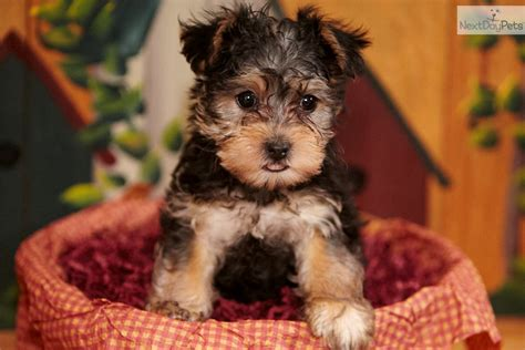 yorkie poo puppies for sale in bc yorkiepoo yorkie poo puppy for sale near lancaster pennsylvania 2cb6bc1d af91