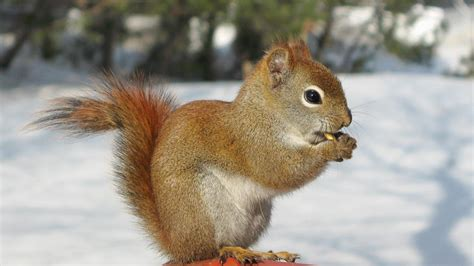 well the squirrels are back commercial script do squirrels hibernate bennett wildlife removal