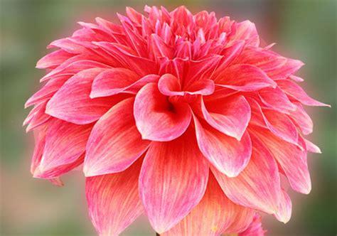 photos of colombia flowers dahlia dahlia flowers flowers